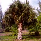 SABAL PALMETTO, CABBAGE PALM cold hardy 10 seeds