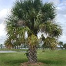 BULK SABAL PALMETTO, CABBAGE PALM cold hardy 100 seeds