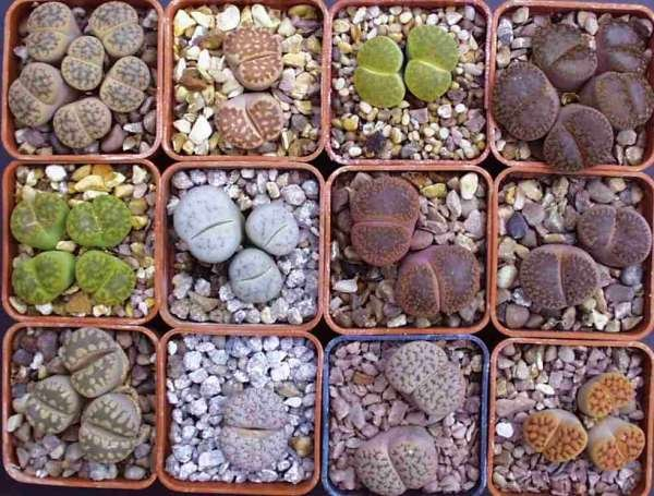 LITHOPS, LIVING STONE stones COLLECTION 100+ seeds