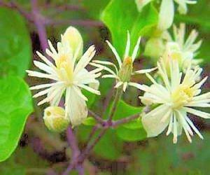 BULK White CLEMATIS VITALBA evergreen fully hardy 200 seeds