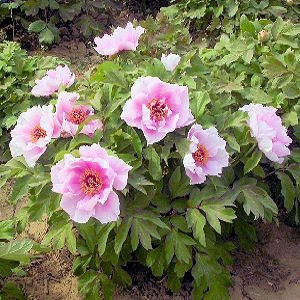BULK PAEONIA SUFFRUTICOSA Tree peony pink cloud 100 seeds