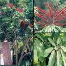 Schefflera Actinophylla, Umbrella Tree, Octopus plant 75 seeds
