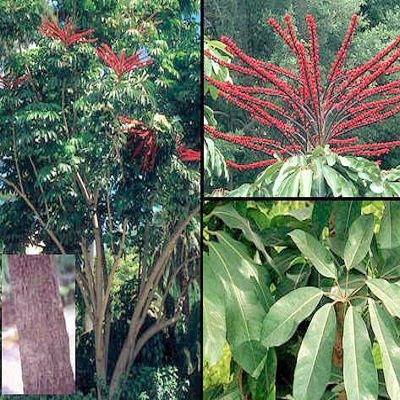Schefflera Actinophylla, Umbrella Tree, Octopus plant 15 seeds