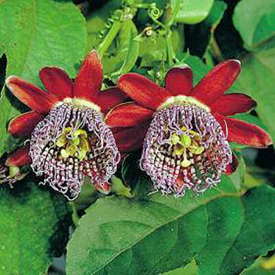 BULK PASSIFLORA ALATA red fragrant granadilla 100 seeds
