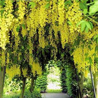 BULK GOLDEN CHAIN TREE - LABURNUM ANAGYROIDES 100 seeds