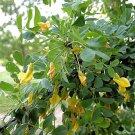BULK SIBERIAN PEASHRUB - CARAGANA ARBORESCENS 100 seeds