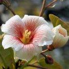 TUNG OIL TREE ALEURITES FORDII china wood tree 2 seeds