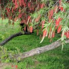 BULK WEEPING BOTTLE BRUSH CALLISTEMON VIMINALIS 1000+ seeds