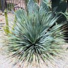 BULK YUCCA GLAUCA Soapweed Yucca beargrass 100 seeds