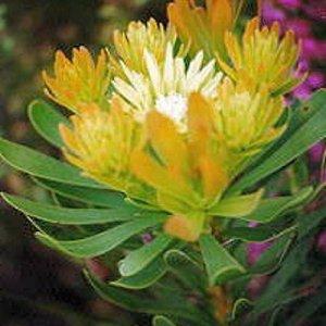 AULAX UMBELLATA Broad leaf featherbush protea 5 seeds