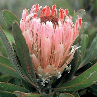 PROTEA LAURIFOLIA rose mink 5 seeds