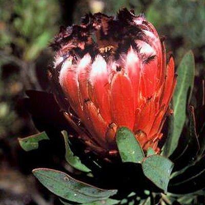 OLEANDER LEAF PROTEA NERIIFOLIA 5 seeds