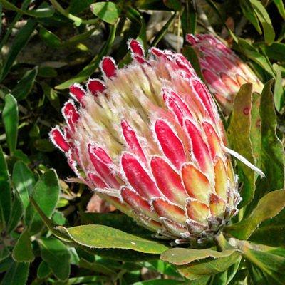 PROTEA OBTUSIFOLIA  sugarbush 5 seeds