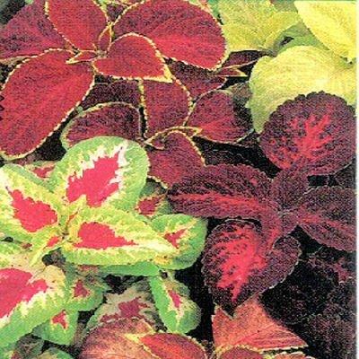 COLEUS RAINBOW MIX Solenostemon scutellaroides 50 seeds