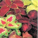COLEUS RAINBOW MIX Solenostemon scutellaroides 50 seeds
