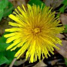 DANDELION organic Taxacum  high in Calcium 100 seeds