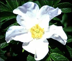 BULK WHITE JAPANESE ROSE - ROSA RUGOSA ALBA 100 seeds
