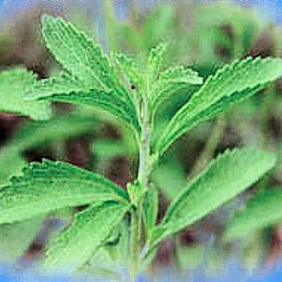 STEVIA REBAUDIANA 1oz organically grown leaf powder