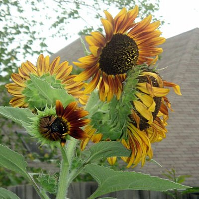 BULK AUTUMN BEAUTY SUNFLOWER 200 seeds