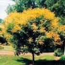BULK GOLDEN RAIN TREE KOELREUTERIA PANICULATA 100 seeds