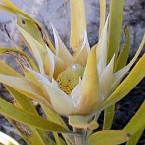 LEUCADENDRON EUCALYPTIFOLIUM fragrant conebush 5 seeds