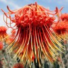LEUCOSPERMUM CATHERINAE wheel pincushion 5 seeds