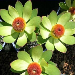 LEUCADENDRON LAUREOLUM golden conebush 5 seeds