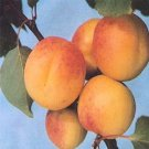 APRICOT Prunus armeniaca 4 seeds