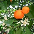 TANGERINE Citrus reticulata 10 seeds