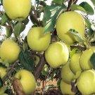 Golden Delicious apple tree crisp sweet fresh 10 seeds