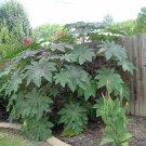 BULK - CASTOR BEAN red SANGUINEA MOLE REPELLENT 100 seeds