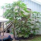 BULK - CASTOR BEAN green ZANZIBAR MOLE REPELLENT 1000 seeds
