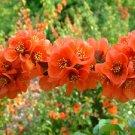 FLOWERING QUINCE Chaenomeles Japonica BONSAI 10 seeds