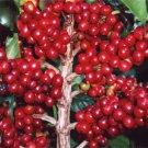 BULK COFFEA ARABICA COFFEE frost hardy 100 seeds