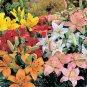 BULK ASIATIC LILY HYBRIDS color mix 500 seeds