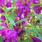 BULK Balsam Impatiens Touch-me-not mixed colors 500+ seeds