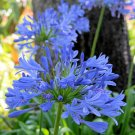 BULK BLUE AFRICAN LILY   AGAPANTHUS AFRICANUS 50 seeds