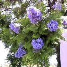 BULK BLUE JACARANDA MIMOSIFOLIA flowering tree 100 seeds