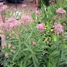 BUTTERFLY FLOWER (Milkweed) dark pink Asclepia incarnata 50 seeds