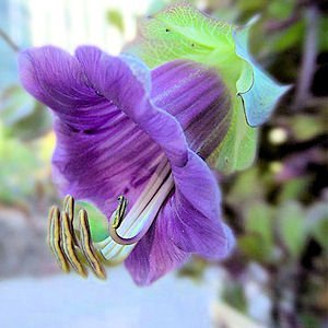 CATHEDRAL BELLS cup and saucer vine Cobaea SCANDENS 50 seeds
