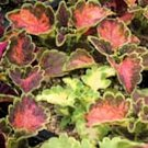 BULK - COLEUS CAREFREE MIX colorful shade plant 2500+ seeds