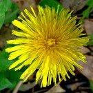 BULK DANDELION organic Taxacum  high in Calcium 500 seeds