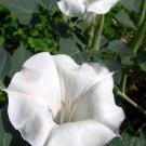 DATURA BELLE BLANCHE white devil's trumpet 50 seeds