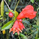 BULK DWARF POMEGRANATE Punica granatum 500 seeds