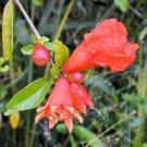 BULK DWARF POMEGRANATE Punica granatum 500 seeds