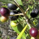 BULK EUROPEAN OLIVE TREE - OLEA EUROPAEA perfect as bonsai 1000 seeds