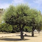 EUROPEAN OLIVE TREE - OLEA EUROPAEA perfect as bonsai 50 seeds