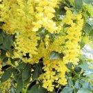 GOLDEN CHAIN TREE - LABURNUM ANAGYROIDES 50 seeds