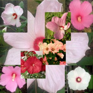 BULK Hardy Hibiscus 7 color shades, mixed package 100 seeds