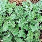 BULK KALE Dwarf Vates Blue curled 2x harvest 10,000+ seeds